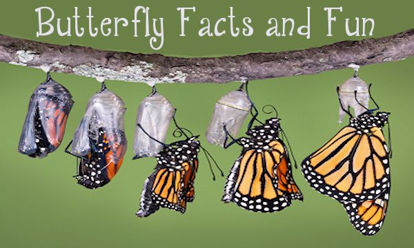 Butterfly Facts and Fun